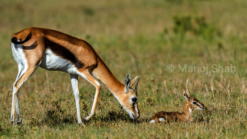 Thomson's Gazelle mother goes to groom her baby in the Masai Mara savannah.