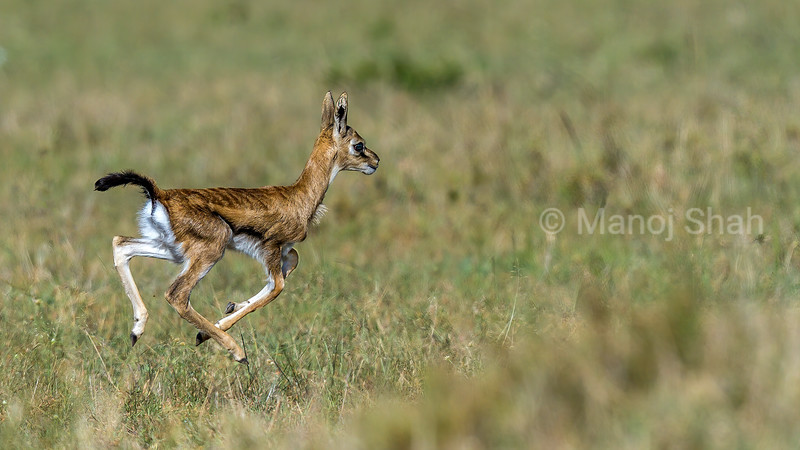 Thomson's Gazelle baby running in Masai Mara savannah.