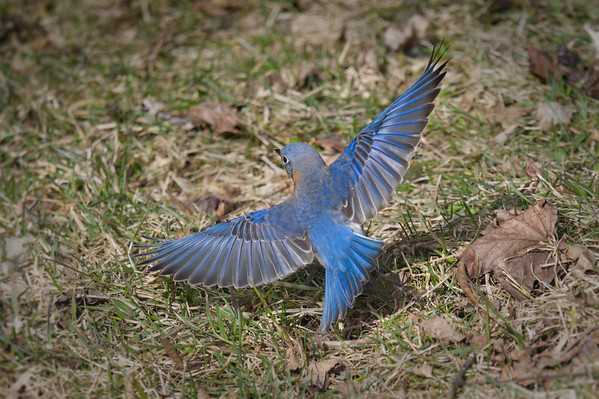 Eastern Bluebird male swoops from ground with spread wings • South Onondaga, NY • 2019