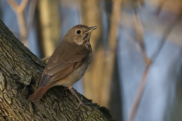 Hermit Thrush poses up close • Magee Marsh WMA, Ohio • 2018