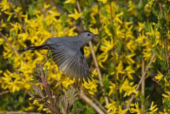 Gray Catbird takes flight by yellow flowers • Sterling Nature Center, NY • 2018