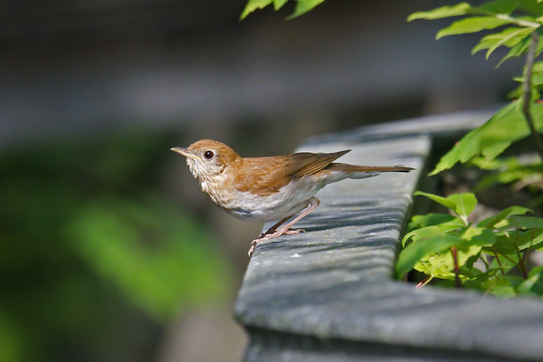 Veery on boardwalk prepares for takeoff • Labrador Pond, Truxton NY • 2019