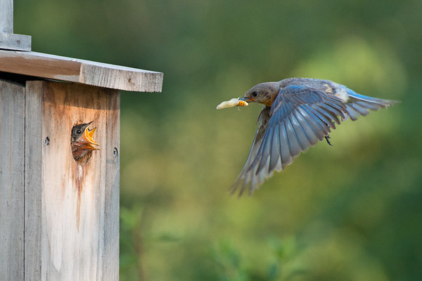 Eastern Bluebird female delivers moth to chicks in nestbox • South Onondaga, NY • 2012