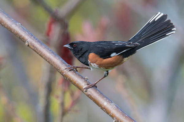 Eastern Towhee shows off tail feathers • Sterling Nature Center, NY • 2017