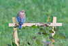 Eastern Bluebird male fledgling chick on trellis • South Onondaga, NY • 2014