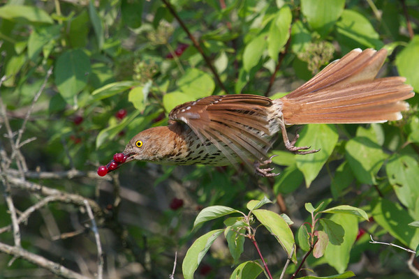 Brown Thrasher takes flight with red berries • Pleasant Valley Preserve, Marcellus NY • 2021