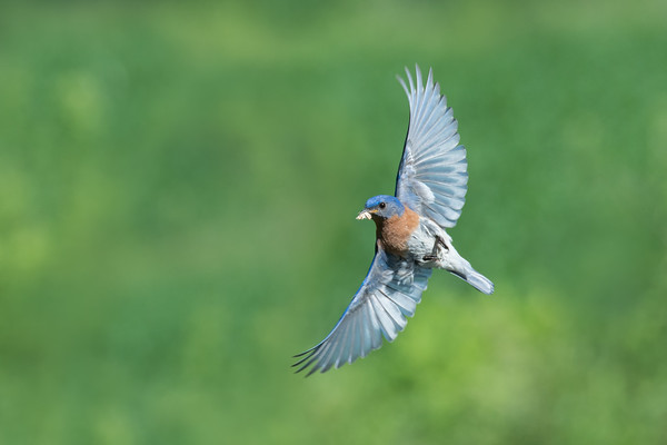 Eastern Bluebird male in flight with nesting material • South Onondaga, NY • 2014