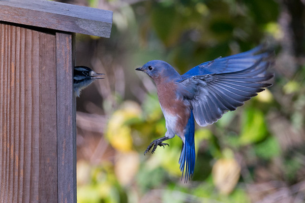 Hovering Eastern Bluebird male confronts Downy Woodpecker at nest box • South Onondaga, NY • 2014