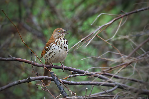 Brown Thrasher calling • Sterling Nature Center, Sterling NY • 2019