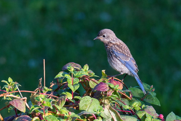 Eastern Bluebird male fledgling poses on vine in early morning light • South Onondaga, NY • 2014