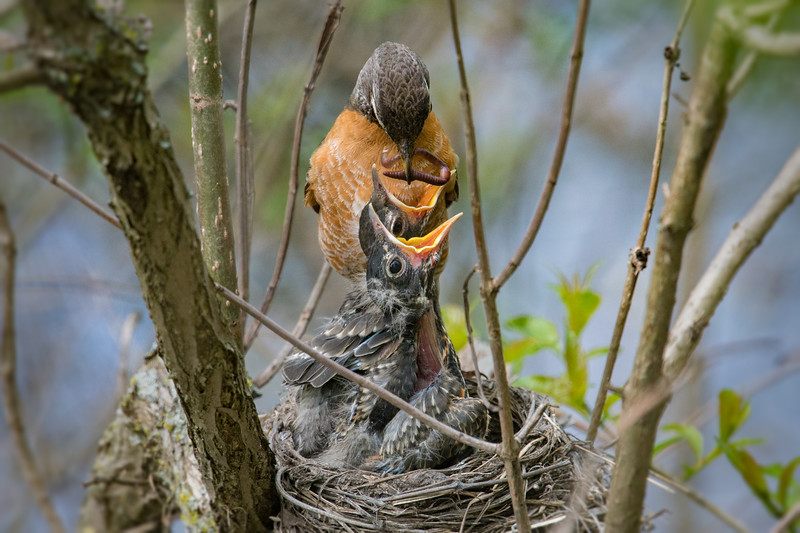 American Robin feeds worm to nestlings • Magee Marsh Wildlife Area, OH • 2018