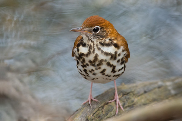 Wood Thrush stands by water's edge  • Magee Marsh Wildlife Area, OH • 2015