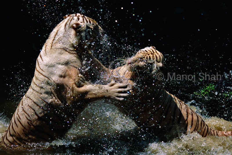 Bengal Tigers fighting in water