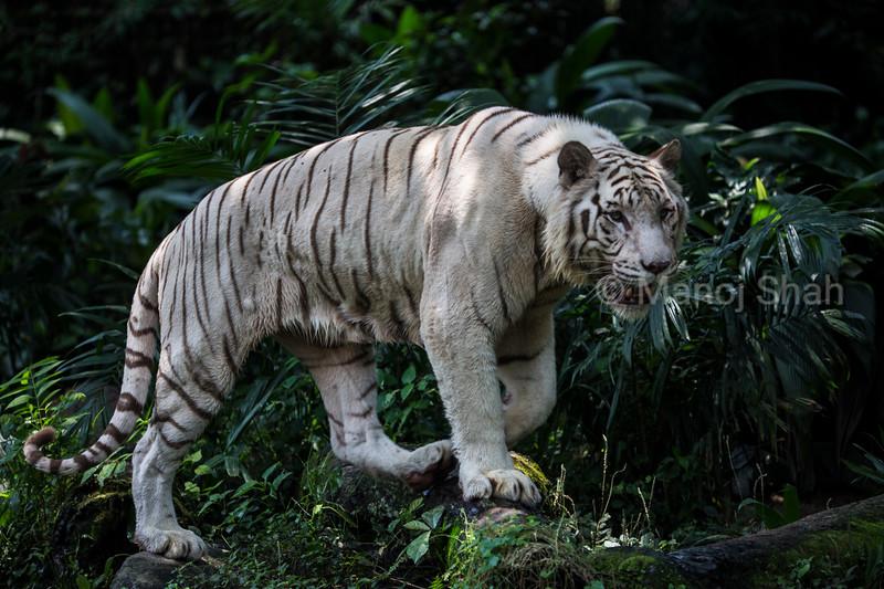 White Tiger