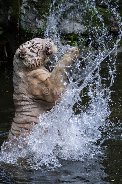 White Tigersjumping in water