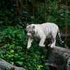 White Tiger jumping