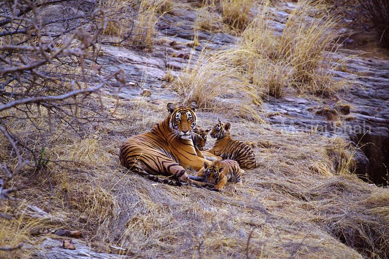 Bengal tigress with cubs