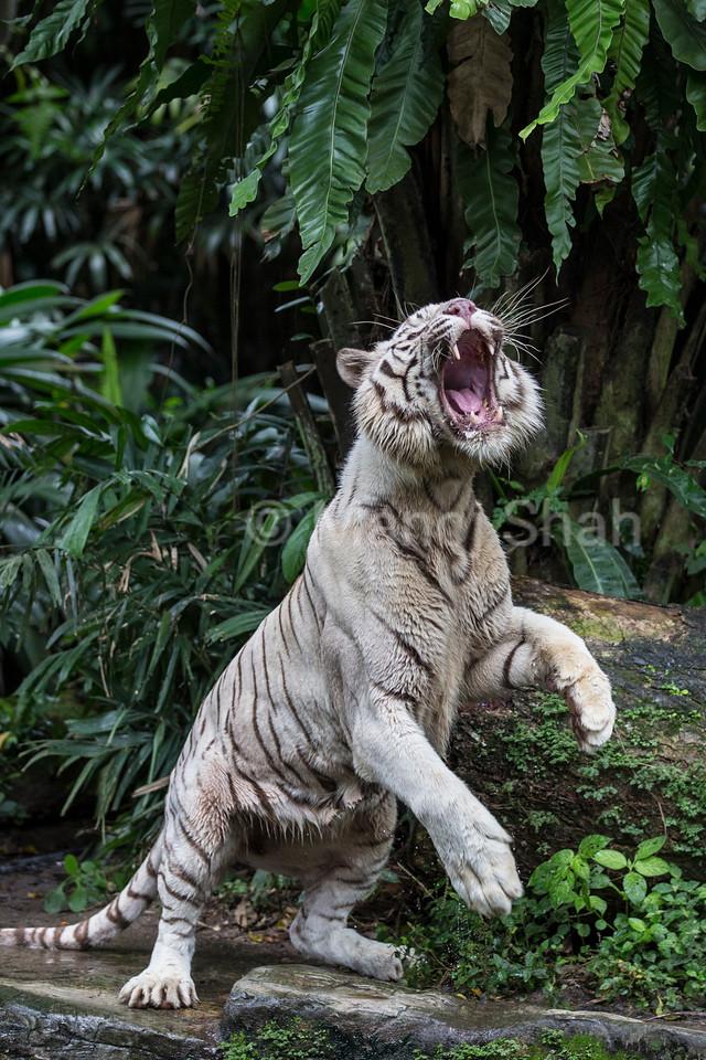 White Tiger jumping