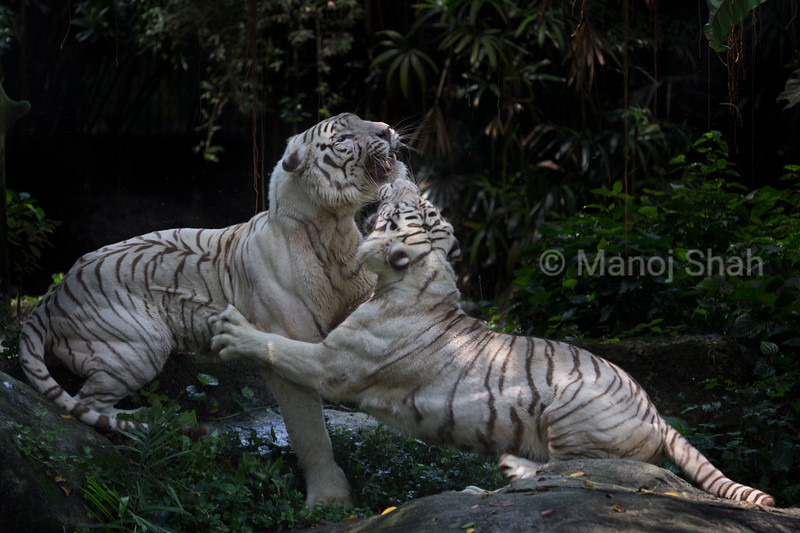 White Tigers fighting