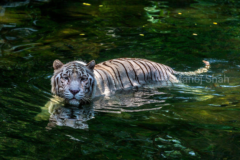 White tiger cooling off in water