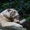 White Tiger grooming