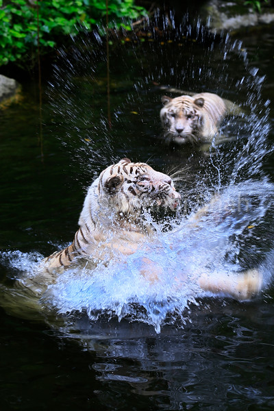White Tigers in water