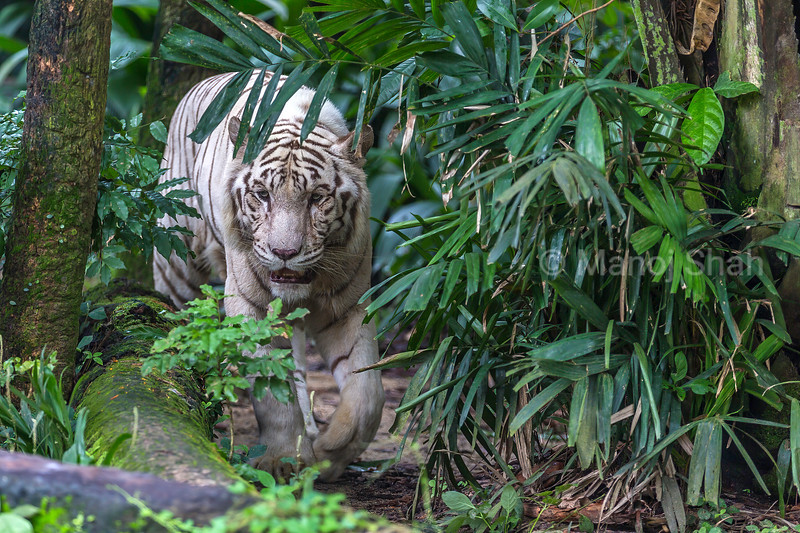 White tiger on a walk.