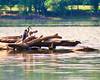 Heron on Potomac 7-27-09-11