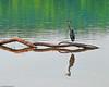 Heron on Potomac 7-27-09-4