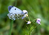 Orange Tip on Ladies' Smock