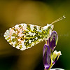 Orangetip butterfly on a bluebell