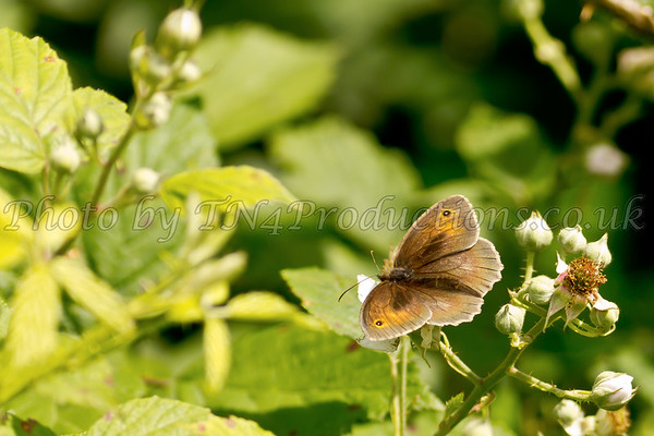 Gatekeeper Butterfly on a Bramble