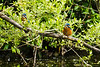 Two Kingfishers (Alcedo Atthis)