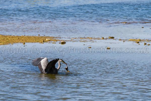 Heron grabs duckling