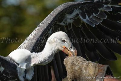 Ruppell's Griffon Vulture feeding