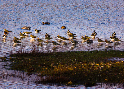 Lapwings at Sunset
