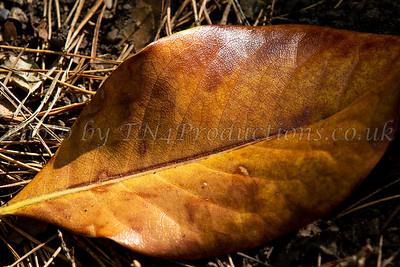 Autumn leaf in pine needles