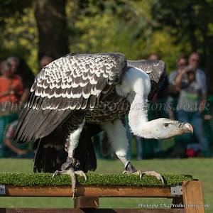 Ruppell's Griffon Vulture on perch