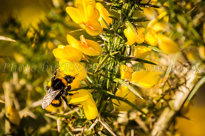 Bee and Gorse 2