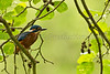 Male Kingfisher in an Alder (Alcedo Atthis)