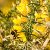 Bee and Gorse