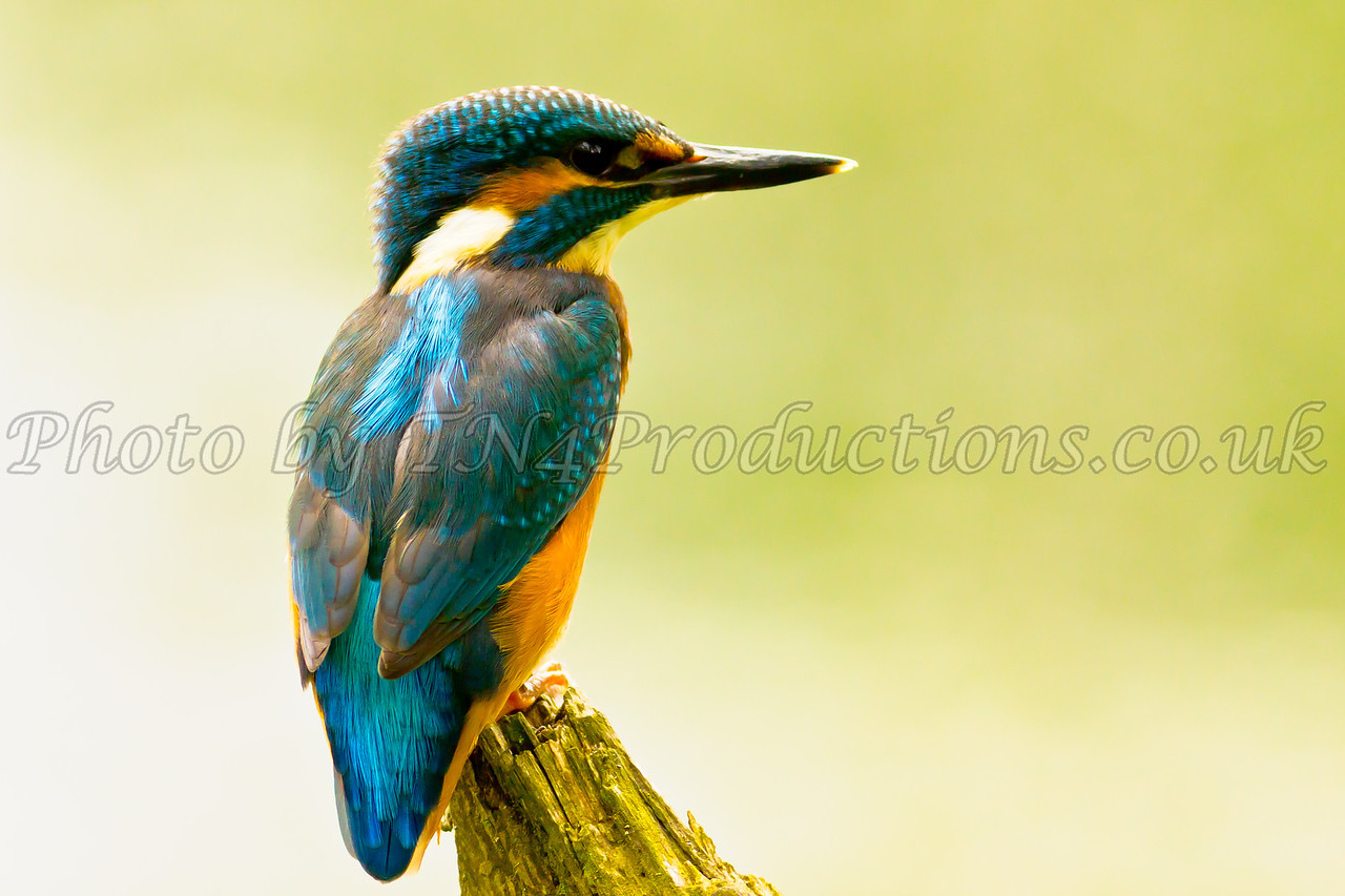 Male Kingfisher on a Perch (Alcedo Atthis)