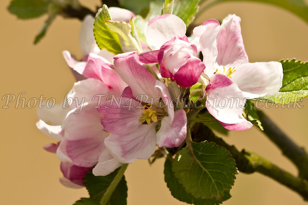 Apple_Blossom-1851974349-O
