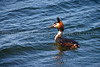 Great-crested Grebe swimming