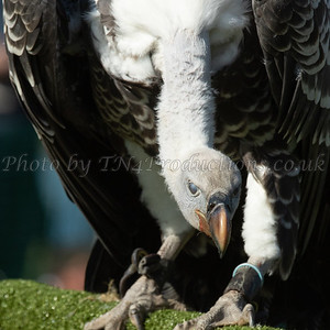 Ruppell's Griffon Vulture close-up