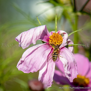 Bee on dying flower