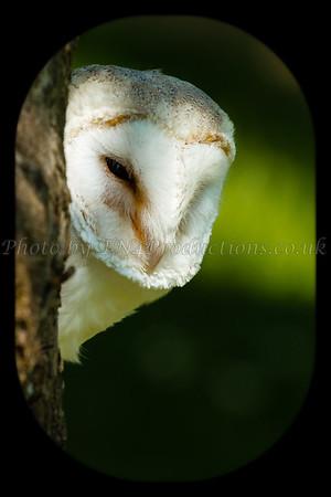 Crystal - The Barn Owl