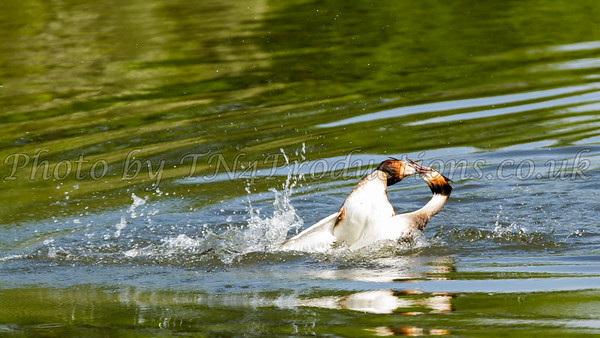 Fighting Grebes