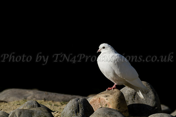 Dove on the rocks