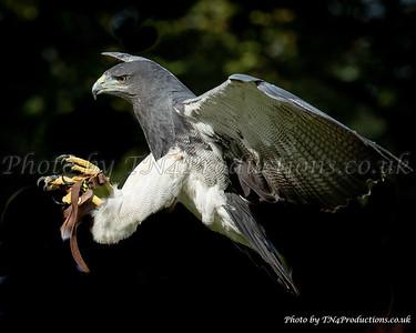 Blue Chilean Eagle landing
